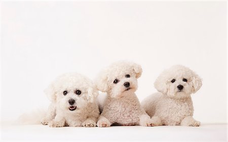 fluffy - Identical dogs laying together Stock Photo - Premium Royalty-Free, Code: 6113-06626268