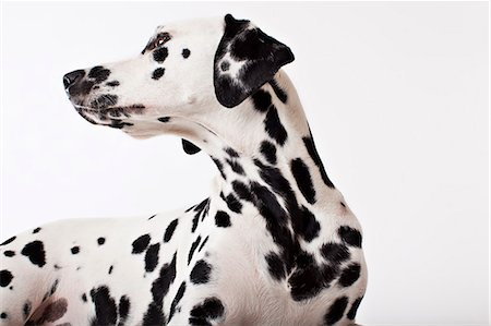 spotted - Dog craning his neck Stock Photo - Premium Royalty-Free, Code: 6113-06626274