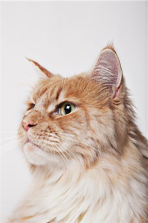 superior - Close up of cat's face Stock Photo - Premium Royalty-Free, Code: 6113-06626284
