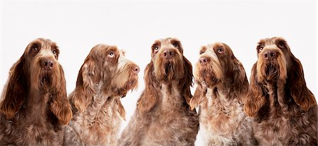 five animals - Group of identical dogs sitting together Stock Photo - Premium Royalty-Free, Code: 6113-06626217