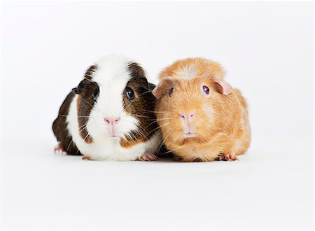 Guinea pigs sitting together Stock Photo - Premium Royalty-Free, Code: 6113-06626215
