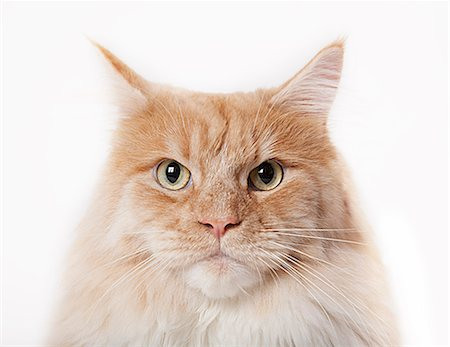 fluffy - Close up of cat's face Stock Photo - Premium Royalty-Free, Code: 6113-06626222