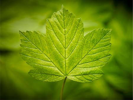spring background - Close up of green leaf Stock Photo - Premium Royalty-Free, Code: 6113-06626629