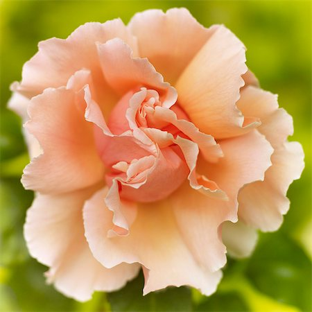 Close up of felicia rose Stock Photo - Premium Royalty-Free, Code: 6113-06626639