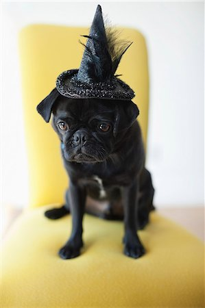 pvg - Dog wearing witch's hat in chair Stock Photo - Premium Royalty-Free, Code: 6113-06720895