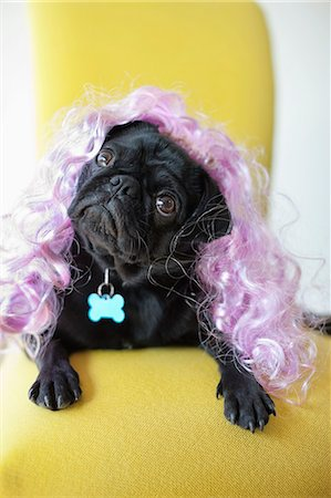 pvg - Dog wearing colorful wig in chair Stock Photo - Premium Royalty-Free, Code: 6113-06720955
