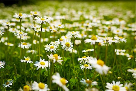 Close up of daisies in meadow Stock Photo - Premium Royalty-Free, Code: 6113-07160746