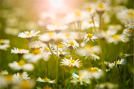 Close up of daisies in meadow Stock Photo - Premium Royalty-Free, Code: 6113-07160760