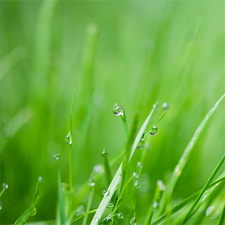 Close up of water droplets on blades of grass Stock Photo - Premium Royalty-Free, Code: 6113-07542398