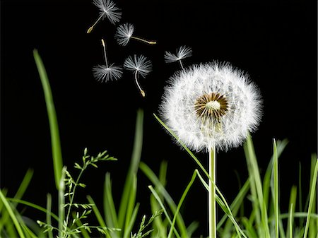 Close up of dandelion plant blowing in wind Stock Photo - Premium Royalty-Free, Code: 6113-07543089