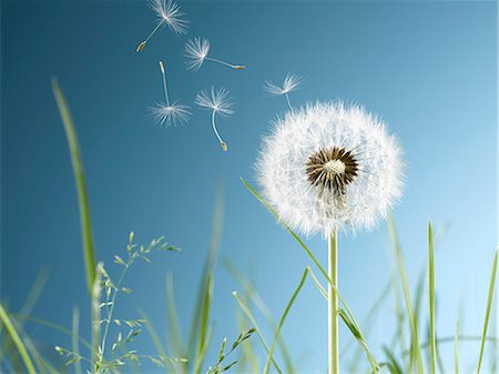 Close up of dandelion plant blowing in wind Stock Photo - Premium Royalty-Free, Code: 6113-07543093