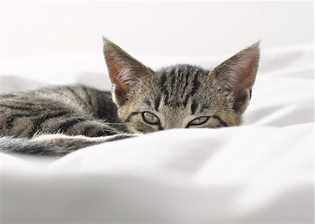 Kitten peering over blankets Stock Photo - Premium Royalty-Free, Code: 6113-07543092