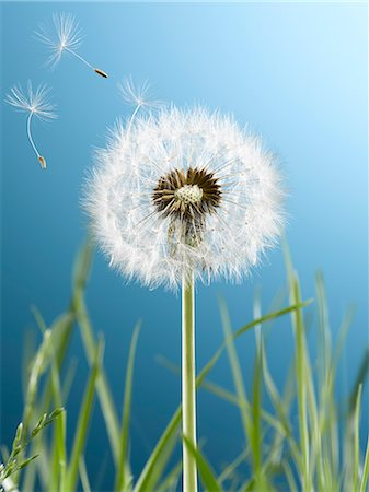 Close up of dandelion plant blowing in wind Stock Photo - Premium Royalty-Free, Code: 6113-07543095