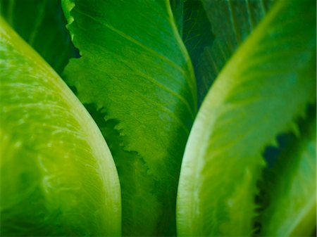 Extreme close up of romaine lettuce leaves Stock Photo - Premium Royalty-Free, Code: 6113-07565163