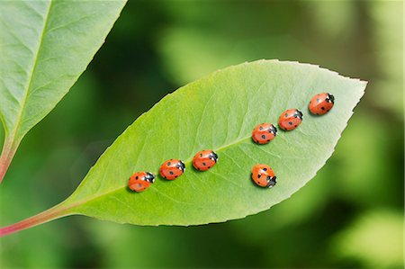 Ladybug standing out from the crowd on leaf Stock Photo - Premium Royalty-Free, Code: 6113-07565277