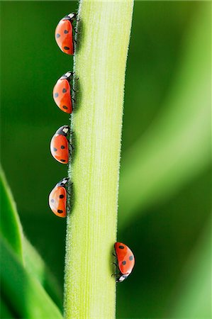five animals - Ladybug standing out from the crowd on leaf Stock Photo - Premium Royalty-Free, Code: 6113-07565300
