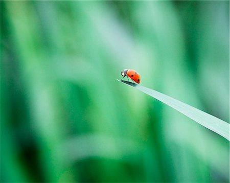 Ladybug on tip of leaf Stock Photo - Premium Royalty-Free, Code: 6113-07565313