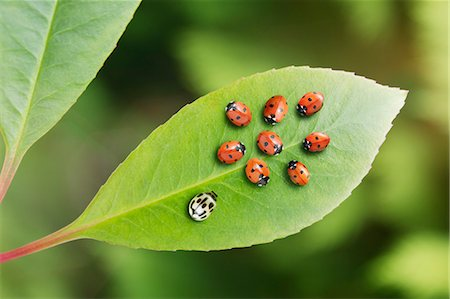 Unique ladybug standing out from the crowd on leaf Stock Photo - Premium Royalty-Free, Code: 6113-07565317