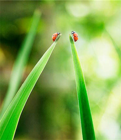 Ladybugs on tips of leaves Stock Photo - Premium Royalty-Free, Code: 6113-07565319