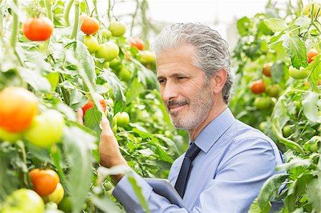 Botanist examining tomato plants in greenhouse Stock Photo - Premium Royalty-Free, Code: 6113-07589166