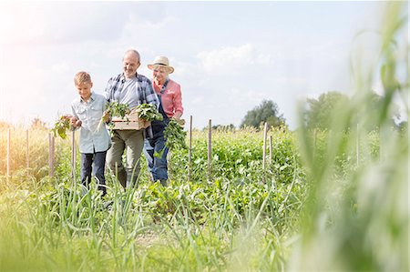 Grandparents and grandson harvesting vegetables in sunny garden Foto de stock - Royalty Free Premium, Número: 6113-08220519