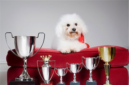 Dog with a row of trophies Stock Photo - Premium Royalty-Free, Code: 6114-06591881