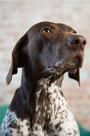 German shorthaired pointer Stock Photo - Premium Royalty-Free, Code: 6114-06609331