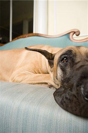 Great dane on a sofa Stock Photo - Premium Royalty-Free, Code: 6114-06609336