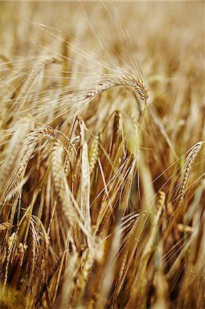 spike - Wheat Field, Croatia, Dalmatia, Europe Stock Photo - Premium Royalty-Free, Code: 6115-06778605