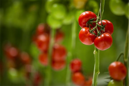 Tomatoes In Greenhouse, Croatia, Slavonia, Europe Stock Photo - Premium Royalty-Free, Code: 6115-06967184