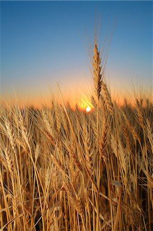 spike - Wheat Field, Croatia, Slavonia, Europe Stock Photo - Premium Royalty-Free, Code: 6115-06967251