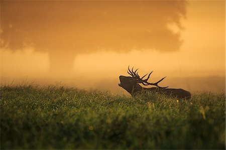 Stag In Field At Dawn Stock Photo - Premium Royalty-Free, Code: 6115-06967273