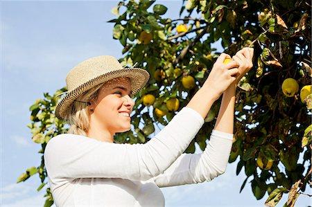 single fruits tree - Young woman picking lemons, Slavonia, Croatia Stock Photo - Premium Royalty-Free, Code: 6115-07282912