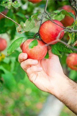single fruits tree - Man's Hand Picking An Apple, Croatia, Europe Stock Photo - Premium Royalty-Free, Code: 6115-07539788