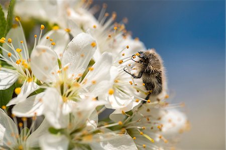 Bumble bee on flower, close-up Stock Photo - Premium Royalty-Free, Code: 6115-08066556