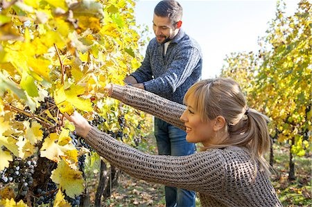 Couple harvesting grapes together in vineyard Stock Photo - Premium Royalty-Free, Code: 6115-08416346