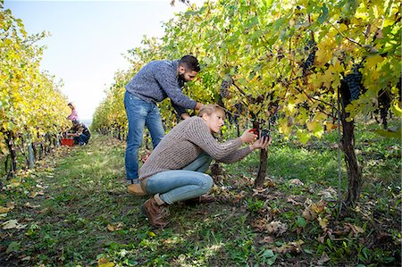 Couple harvesting grapes together in vineyard Stock Photo - Premium Royalty-Free, Code: 6115-08416351