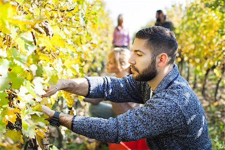 Friends harvesting grapes together in vineyard Stock Photo - Premium Royalty-Free, Code: 6115-08416362
