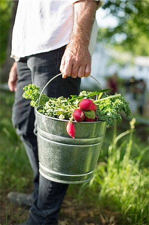 Organic Farm. Summer Party. A Man Carrying A Metal Pail Of Harvested Salad Leaves, Herbs And Vegetables. Stock Photo - Premium Royalty-Free, Code: 6118-07122143