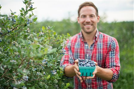 single fruits tree - Organic fruit orchard. A man picking blueberries, Cyanococcus, fruit. Stock Photo - Premium Royalty-Free, Code: 6118-07203049