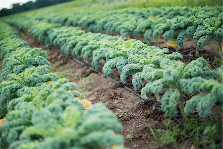 earth no people - Rows of curly green vegetable plants growing on an organic farm. Stock Photo - Premium Royalty-Free, Code: 6118-07203055