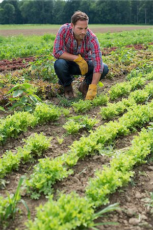 plow - A man in a field of small salad plants growing in furrows. Stock Photo - Premium Royalty-Free, Code: 6118-07203031