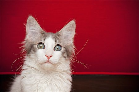 fluffy - A kitten with eyes wide open looking at the camera. Stock Photo - Premium Royalty-Free, Code: 6118-07203295