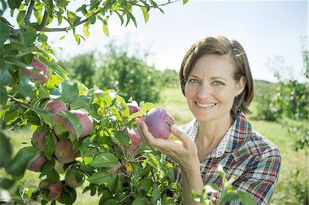 farmhand (female) - A woman in a plaid shirt picking apples from a laden bough of a fruit tree in the orchard at an organic fruit farm. Stock Photo - Premium Royalty-Free, Code: 6118-07353011