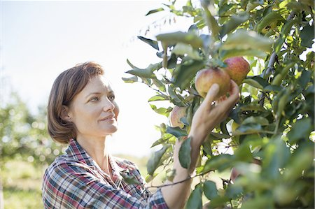 single fruits tree - A woman in a plaid shirt picking apples in the orchard at an organic fruit farm. Stock Photo - Premium Royalty-Free, Code: 6118-07353019