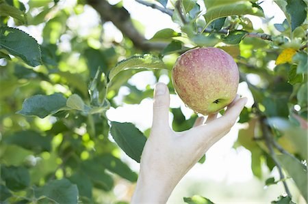 single fruits tree - A woman's hand reaching for a fresh apple for picking, in the orchard at an organic fruit farm. Stock Photo - Premium Royalty-Free, Code: 6118-07353025