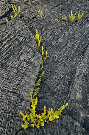 Ferns sprouting in lava flow, Hawaii Volcanoes National Park, Hawaii Stock Photo - Premium Royalty-Free, Code: 6118-07353252