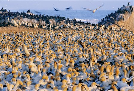 Cape gannet colony, Morus capensis, Lambert's Bay, South Africa Stock Photo - Premium Royalty-Free, Code: 6118-07353261