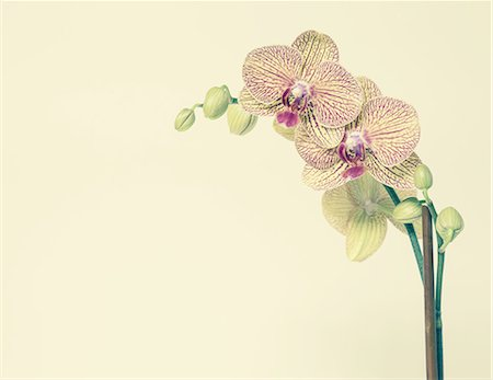 petal - Blooming Phalaenopsis orchid, with yellow and pink petals, on a yellow background. Stock Photo - Premium Royalty-Free, Code: 6118-07353299