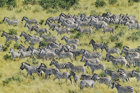 Zebras migrating, Equus quagga, Chobe National Park, Botswana Stock Photo - Premium Royalty-Free, Code: 6118-07353224